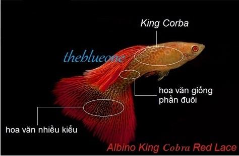 Cá bảy màu Albino King Corba Red Lace