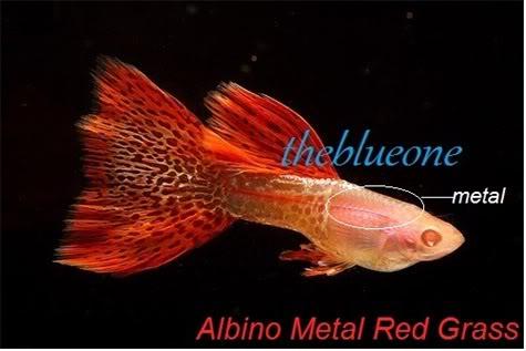 Cá bảy màu dòng Albino Metal Red Grass