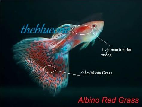 Cá bảy màu dòng Albino Red Grass