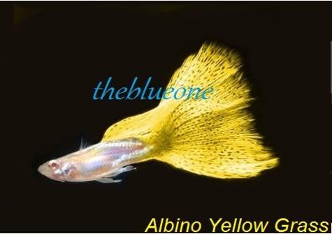 Cá bảy màu dòng Albino Yellow Grass