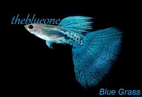 Cá bảy màu dòng Blue Grass
