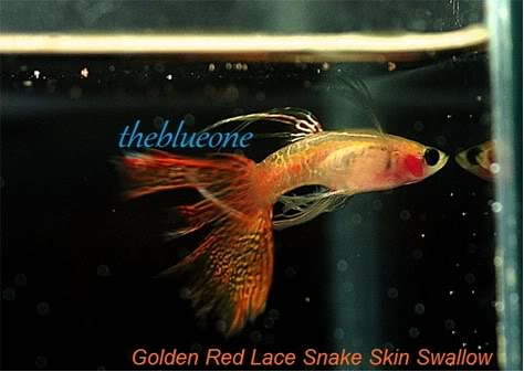 Cá bảy màu Golden Red Lace Snake Skin Swallow