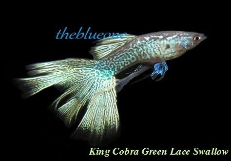 Cá bảy màu King Corba Green Lace Swallow