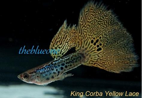 Cá bảy màu King Corba Yellow Lace
