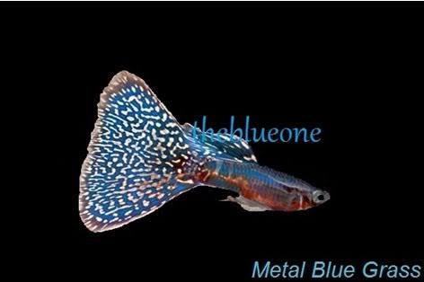Cá bảy màu dòng Metal Blue Grass