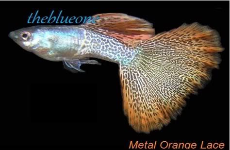 Cá bảy màu Metal Orange Lace