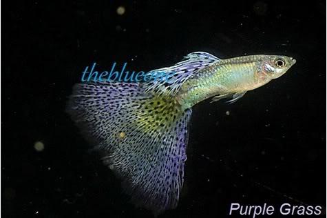Cá bảy màu dòng Purple Grass