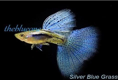 Cá bảy màu dòng Silver Blue Grass