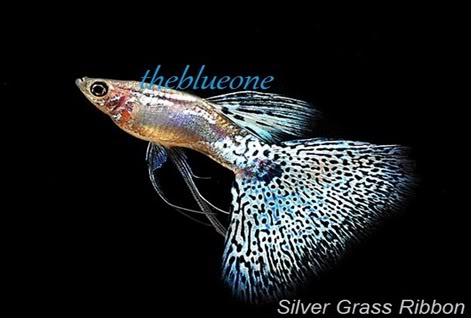 Cá bảy màu dòng Silver Grass Ribbon