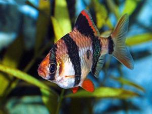 cá tứ vân và cách nuôi cá tứ vân