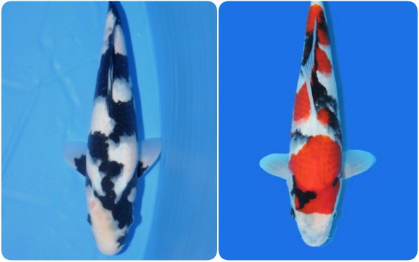 Cá Koi của Nhật Bản có thể đắt tiền đến mức nào? - Ảnh 3.