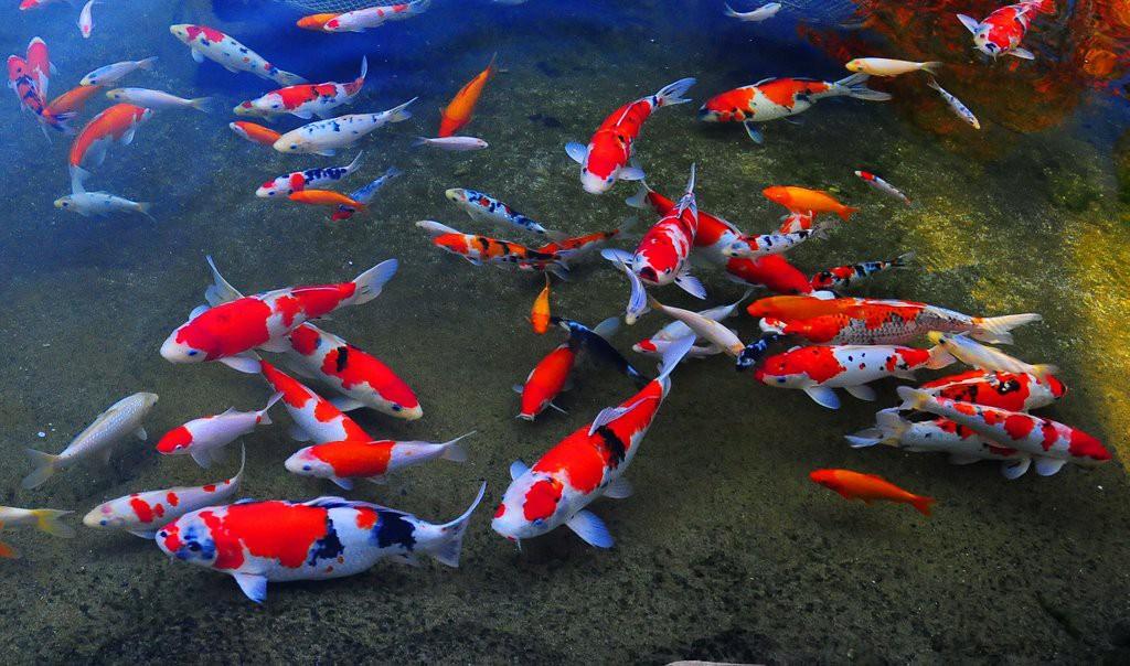 Cá Koi của Nhật Bản có thể đắt tiền đến mức nào? - Ảnh 4.