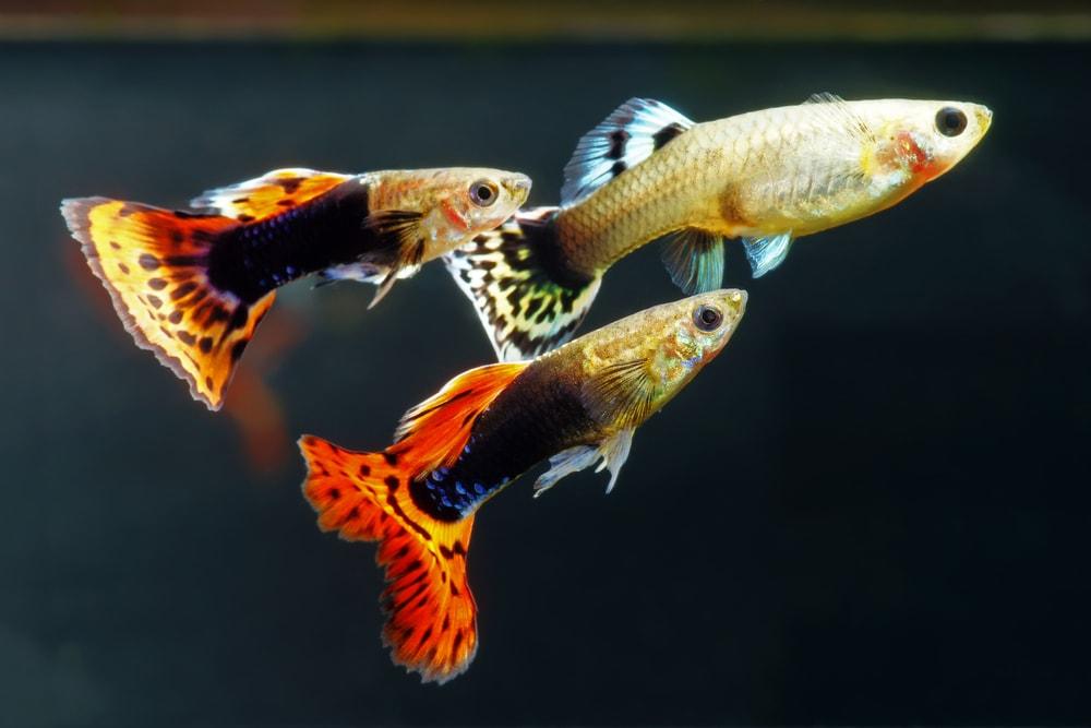 Multi-colored guppies