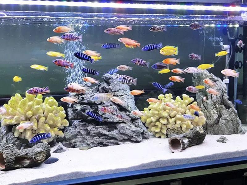Một số loại cá cảnh thường nuôi
